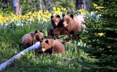 Adventure Opportunities-Grizzly Bears