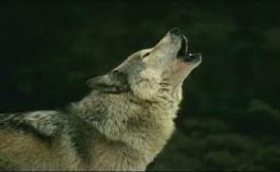 wolf-viewing