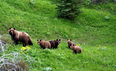 Wilderness Classroom-Grizzly Bears
